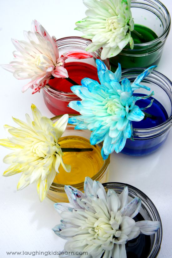 Flowers absorbing coloured water for science activity.