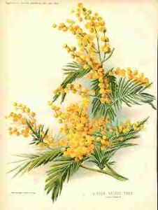 collingridge-silver-wattle-tree-acacia-dealbata-coloured-litho-size-8-5x12-ins-published-4th-june-1892
