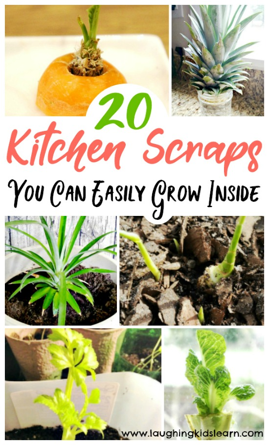 20 kitchen scraps you can grow with kids at home. Inspire a green thumb in your child. #greenthumb #growingwithkids #kidsgrow #growingactivities #growgrowgrow #growathome #gardeningathome #growingscraps #veggiescraps #vegetablescraps #growingvegetablescraps #gardeningathome #kbn #growacarrottop #simplegardening #kitchengarden #kitchengardenprogram #learninghowtogarden #growyourscraps #kidsinthegarden #outdooractivities #outdoorfun #growingfun #carrottop #growlettuce #harvestathome