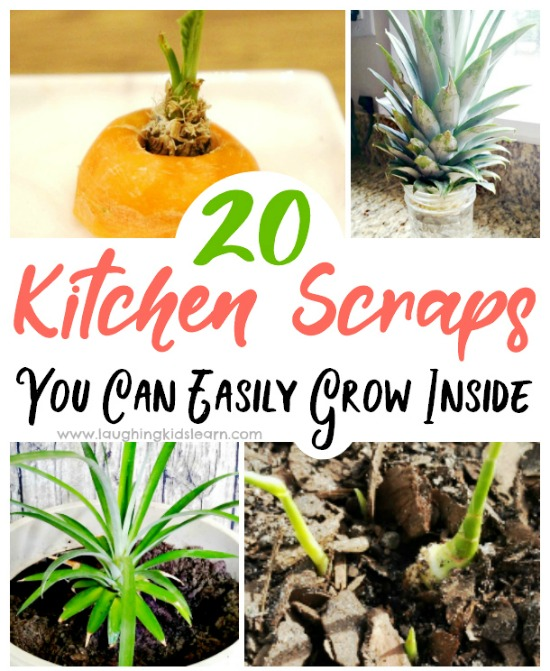 How to grow kitchen scraps at home with children. Fun to watch food grow into new food. #greenthumb #growingwithkids #kidsgrow #growingactivities #growgrowgrow #growathome #gardeningathome #growingscraps #veggiescraps #vegetablescraps #growingvegetablescraps #gardeningathome #kbn #growacarrottop #simplegardening #kitchengarden #kitchengardenprogram #learninghowtogarden #growyourscraps #kidsinthegarden #outdooractivities #outdoorfun #growingfun #carrottop #growlettuce #harvestathome
